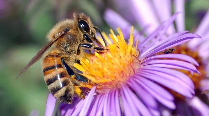 Dzisiaj Światowy Dzień Pszczół