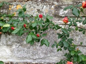 roses grew up around the castle