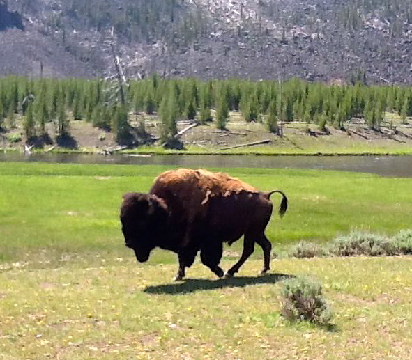 Buffalo in Montana, roaming free.