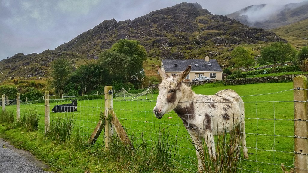 I met this sweet girl on a rainy day traversing the Black Valley along the Kerry Way. One of the few farm animals that allowed me to pet them! Photo: Sara Weaver, Sept. 2017.
