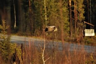 DSC_0506 Kristin King great grey owl northern sweden birdwatching holidays