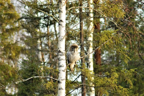 DSC_0587 Kristin King great grey owl northern sweden birdwatching holidays