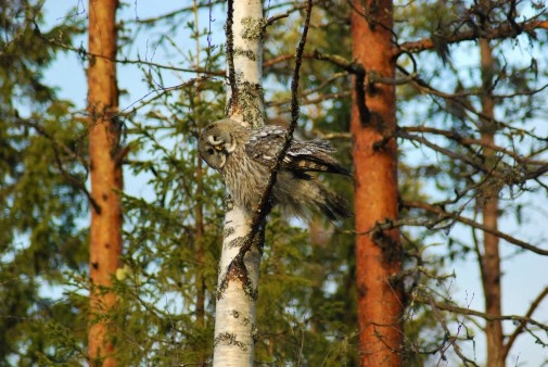 DSC_0660 Kristin King great grey owl northern sweden birdwatching holidays