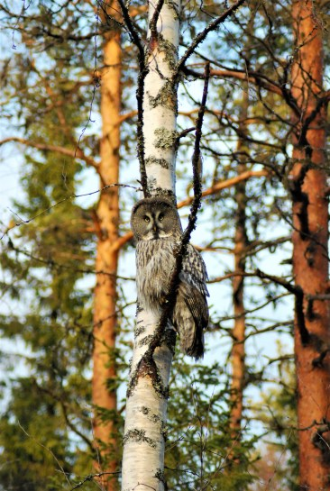 DSC_0668 Kristin King great grey owl northern sweden birdwatching holidays
