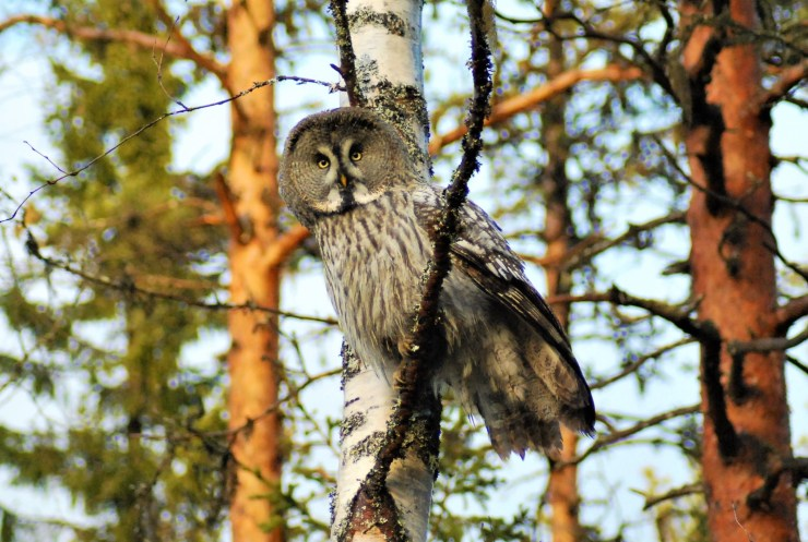 great grey owl Strix nebulosa birdwatching northern sweden tour