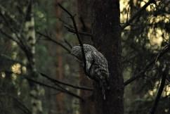 Ural owl birdwatching northern sweden holidays