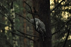 Ural owl birdwatching northern sweden holidays