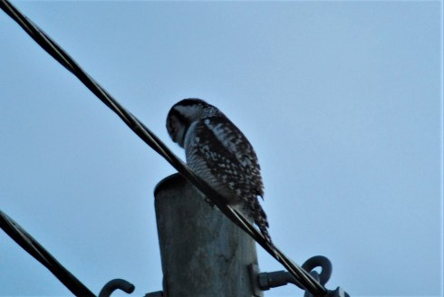 Hawk owl Surnia ulula birdwatching northern sweden holidays