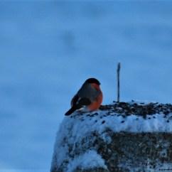 bullfinch birdwatching northern sweden holidays