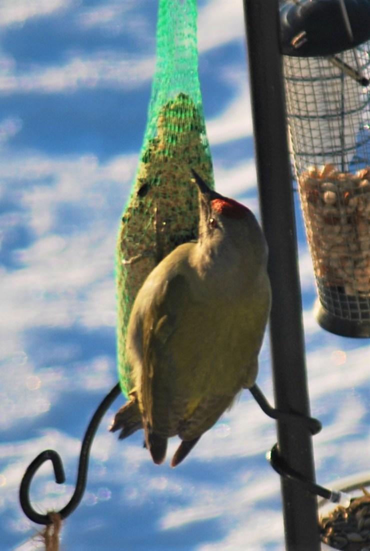 Grey-headed woodpecker(Picus canus canus) by swedenfishingandbirding.net