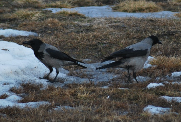 Pair of Hooded crow (Corvus cornix) by sweden fishing and birding, Vasterbotten, Northern Sweden.