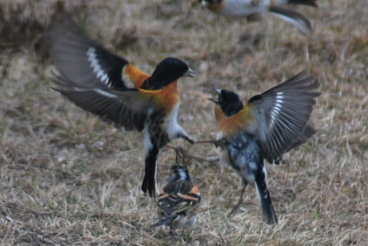 Visit sweden fishing and birding in Northern Sweden and watch wildlife acting wild! Photo by sweden fishing and birding.