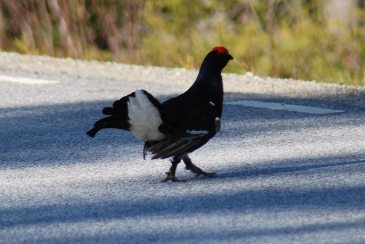 A male Black grouse or Blackgame or Blackcock (Tetrao tetrix) displaying on a road near us. We watch them lekking in May. Photo by sweden fishing and birding.