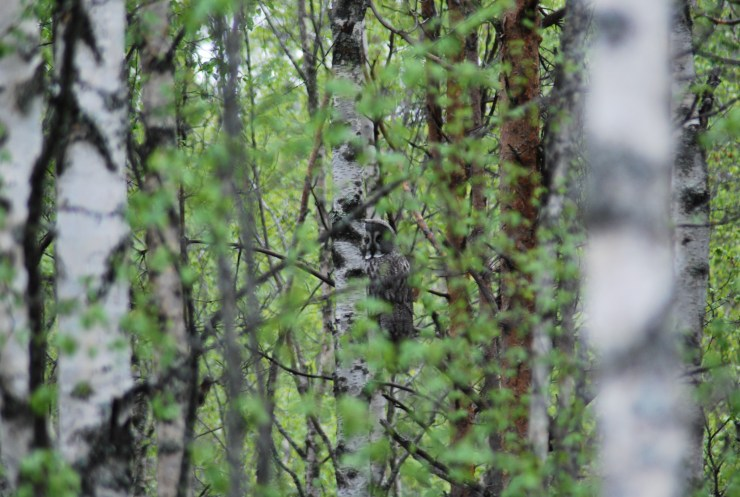 Playing peek a boo with Great grey owl by sweden fishing and birding, Vasterbotten, Northern Sweden.