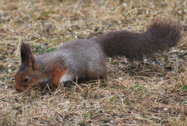 Eurasian red squirrel (Sciurus vulgaris) feeding in our garden. They live and breed in our barn. Photo by swedenfishingandbirding@gmail.com.
