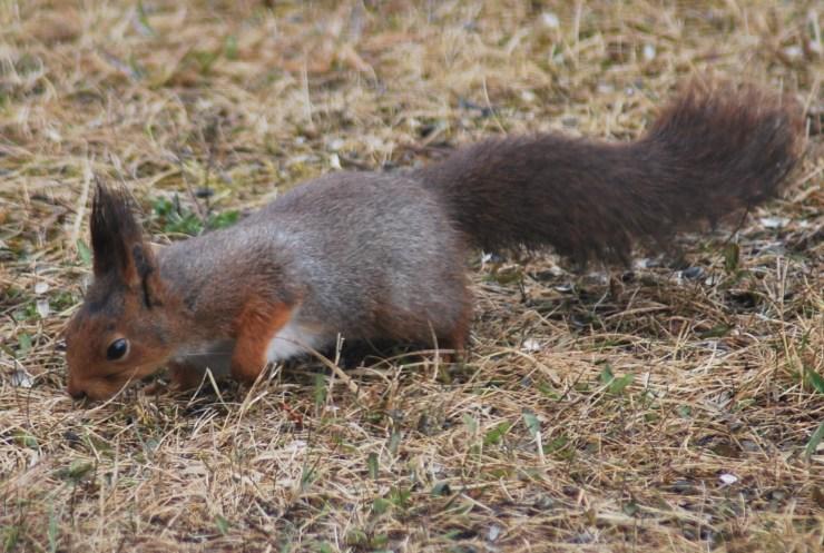 Eurasian red squirrel (Sciurus vulgaris) by swedenfishingandbirding@gmail.com