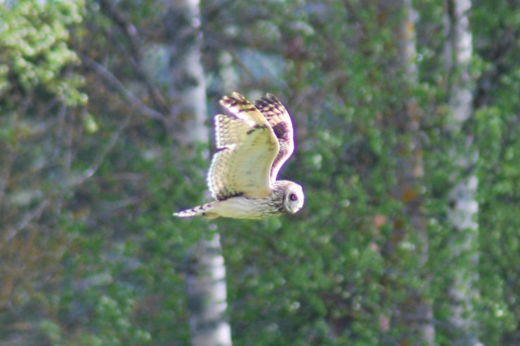 Short-eared owl (Asio flammeus) hunting over our grassland. Photo taken by sweden fishing and birding. Bird watching Northern Sweden.