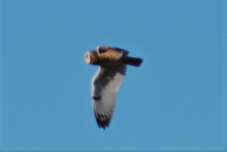 The short-eared owl (Asio flammeus) hunting over our grassland. Photo taken by sweden fishing and birding.