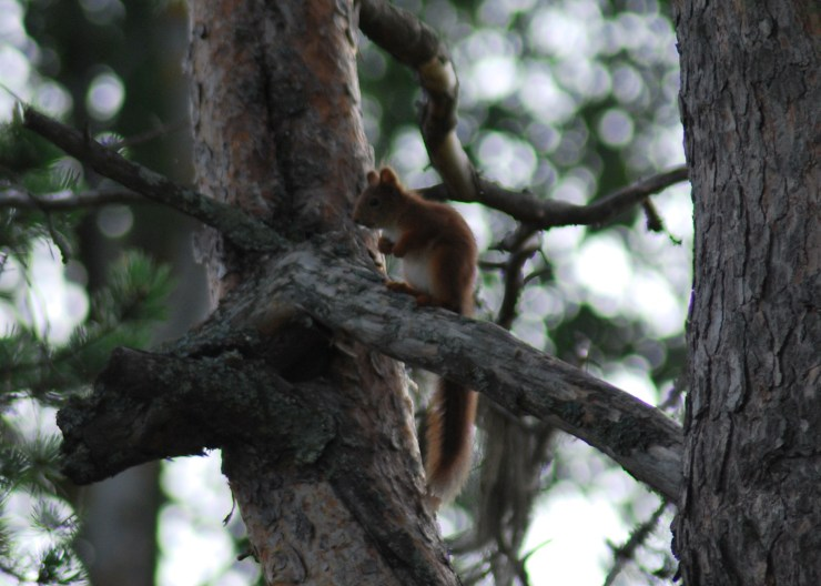 Eurasian red squirrel (Sciurus vulgaris) photo by sweden fishing and birding.