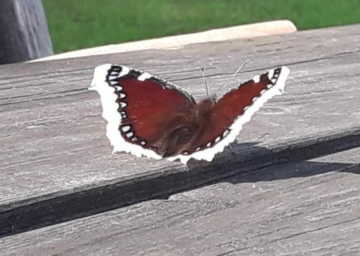 "Nymphalis antiopa, known as the Mourning Cloak or Camberwell Beauty or Swedish ""Sorgmantel"" - photo by sweden fishing and birding, Vasterbotten, Northern Sweden holidays and tours."