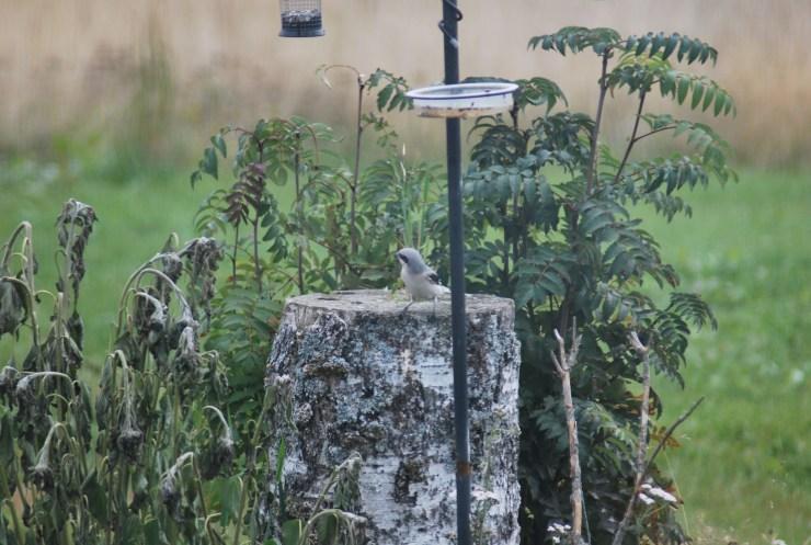 Northern sweden guided bird watching tour.