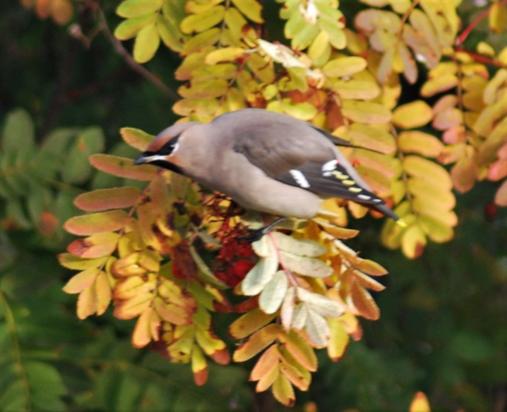Bohemian waxwing (Bombycilla garrulus) taken by sweden fishing and birding - Northern Sweden guided birding trip. Late September sees huge irruptions in our garden.