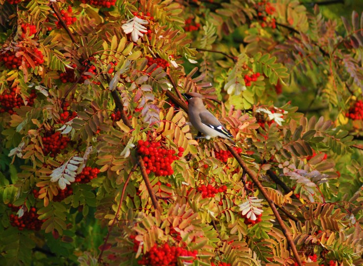 Waxing Skivsjo Vindeln Vasterbotten - Rowan tree - bird photography sweden.