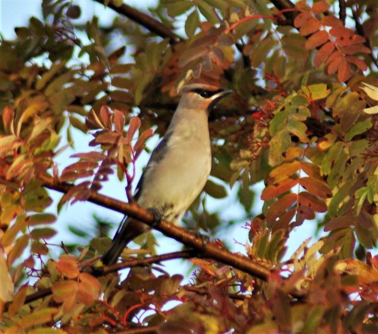 Waxwing pose for a photo with sweden fishing and birding.