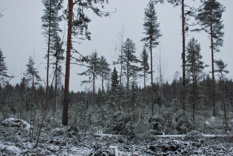 New habitat creation for Swedish Owls and Woodpeckers