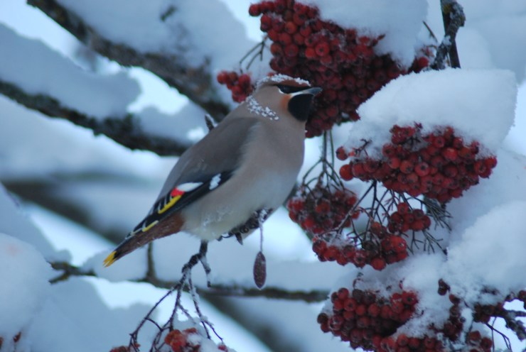 Cold weather birding - Waxwing
