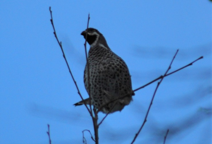 Hazel Grouse by sweden fishing and birding.
