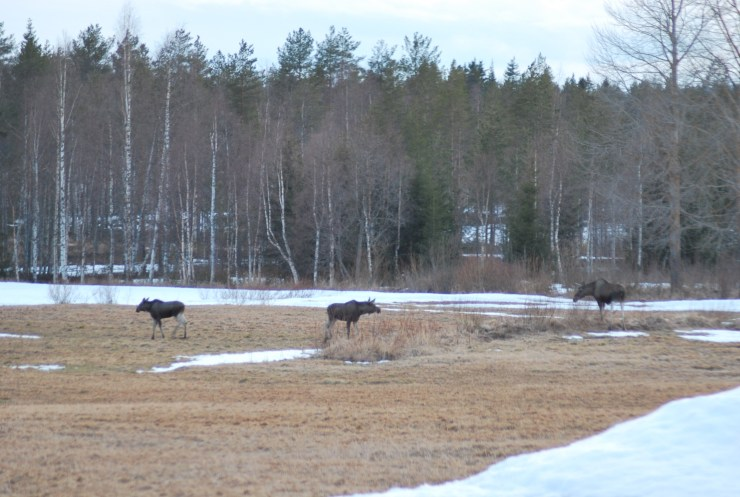 Moose in our garden - Northern Sweden wildlife watching.
