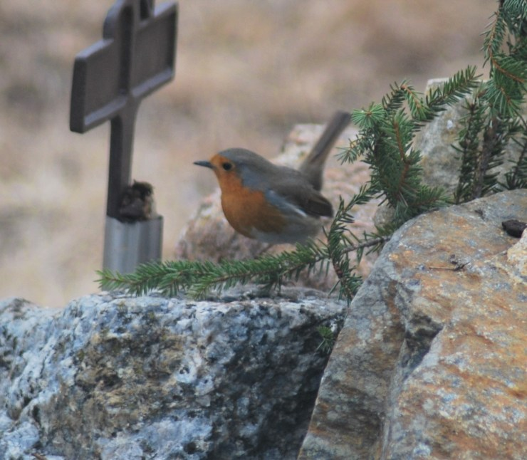 Robin Red Breast - Britain's Christmas bird.