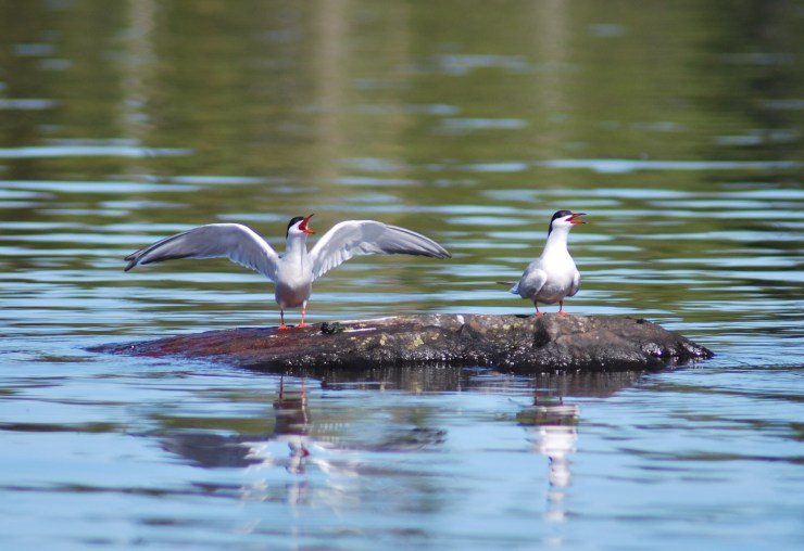 The Tern colony in 33 degrees centigrade while out on our boat made for a terrific scene. Catching two huge pike on this trip makes this my favourite photo out on the lake from 2020. Even the Tern were congratulating me on how big the fish were!