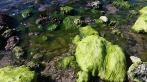Hairy algae on the rocky shore at Veterans Memorial Park.