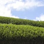 緑茶には認知症の改善効果、発症・進行予防効果がある