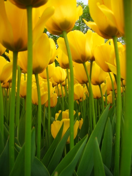 Albany Tulip Festival - Sweet and Savoring