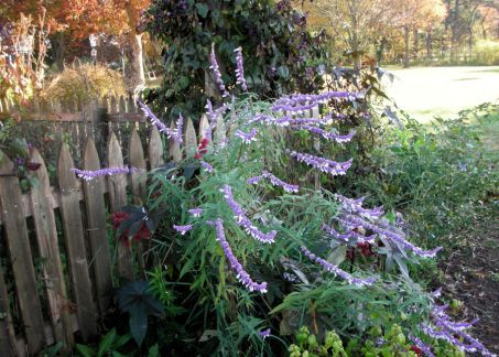 The fuzzy lavender and white blooms of Mexican sage