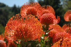 Red Flowers, Big Sur