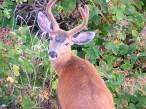 Deer Eyes