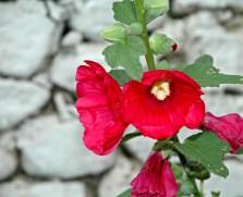 Red Flower at Temple, Bhutan