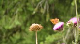 Thistle-Butterfly-1038x576