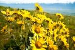 Yellow Flowers Luminance