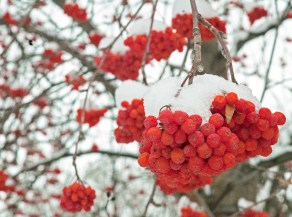 Berries, Mountain Ash, Snow, Closeup
