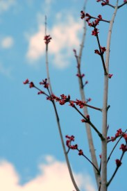 Red Buds, Blue Sky