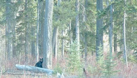 Mama Bear, Polebridge, Fall, Forest