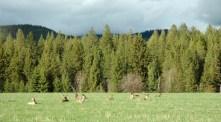 Deer Resting