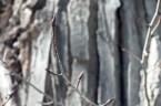 Bud on Old Tree, McDonald Lodge area