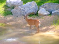 Deer at the Pond