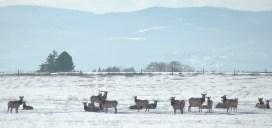 Elk Herd3